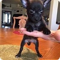 Adopt A Pet :: Bambi's Dasher - Las Vegas, NV