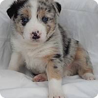Adopt A Pet :: Tyson (5 lb) Blue Eyes! - SUSSEX, NJ