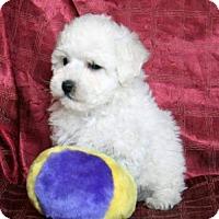 Adopt A Pet :: BEAUTIFUL BABY BOY BICHON FRISE - Surprise, AZ