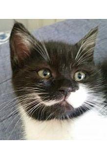 Persian Kitten for adoption in Miami, Florida - Leche