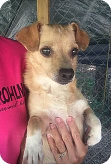 Chihuahua Mix Dog for adoption in Chicopee, Massachusetts - Tandy