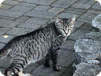 Domestic Shorthair Cat for adoption in Lancaster, Pennsylvania - Gracie