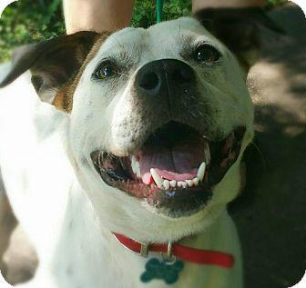Cattle Dog/American Bulldog Mix Dog for adoption in Springfield, Missouri - T-Bone