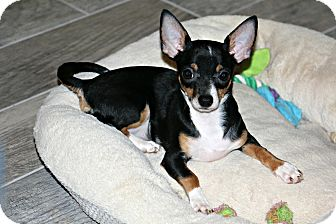 Chihuahua/Miniature Pinscher Mix Puppy for adoption in Phoenix, Arizona - Polo