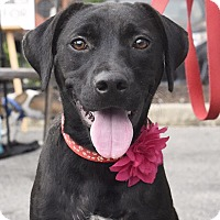 Labrador Retriever Mix Dog for adoption in Chattanooga, Tennessee - Marie