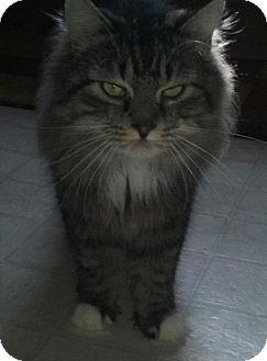 Maine Coon Cat for adoption in Devon, Pennsylvania - LA-Ziggy