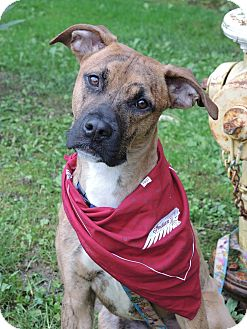 Boxer/American Staffordshire Terrier Mix Dog for adoption in Avon, Ohio - Lamb