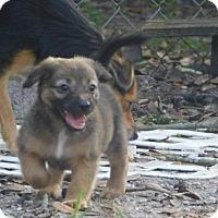 Adopt A Pet :: Chi pups (TH) - Tampa, FL