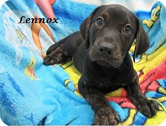 Labrador Retriever/Boxer Mix Puppy for adoption in Bartonsville, Pennsylvania - Lennox