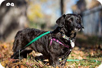 Corgi/Dachshund Mix Dog for adoption in Verona, New Jersey - Dill: Adoption Pending