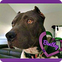 American Pit Bull Terrier Dog for adoption in Des Moines, Iowa - Bentley