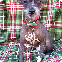 Chinese Crested Dog for adoption in Charlotte, North Carolina - Elvis