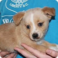 Adopt A Pet :: Baby Dasher - Potomac, MD