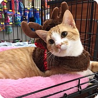 Domestic Shorthair Cat for adoption in Houston, Texas - Scooter