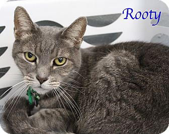 Domestic Shorthair Cat for adoption in Bradenton, Florida - Rooty