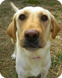 Labrador Retriever/Retriever (Unknown Type) Mix Dog for adoption in Lincolnton, North Carolina - Daisy;  Yellow Lab