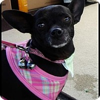 Adopt A Pet :: Chiqlett - Lake Forest, CA