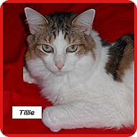 Adopt A Pet :: Tillie - Miami, FL