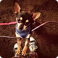 Adopt A Pet :: Benny - Chicago, IL
