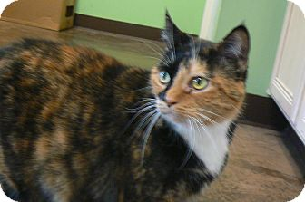 Domestic Shorthair Cat for adoption in Cary, North Carolina - Callie