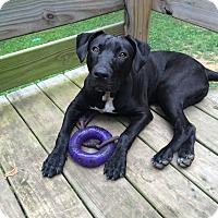 Adopt A Pet :: Henry - Nashville, TN