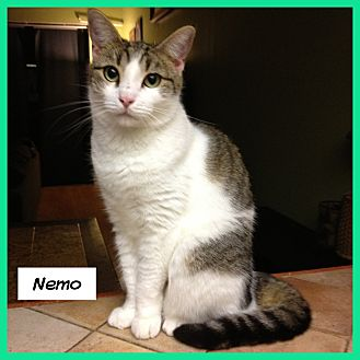 Domestic Shorthair Cat for adoption in Miami, Florida - Nemo