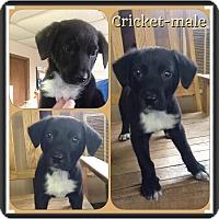 Adopt A Pet :: Cricket-pending adoption - Manchester, CT