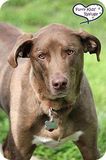 Labrador Retriever Mix Dog for adoption in Lee's Summit, Missouri - Spyder