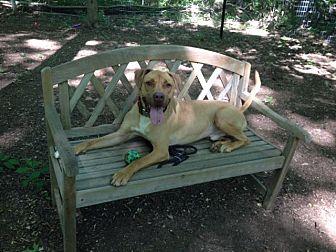 Great Dane/Terrier (Unknown Type, Medium) Mix Dog for adoption in Walden, New York - Ecko