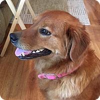 Adopt A Pet :: Precious - New Canaan, CT
