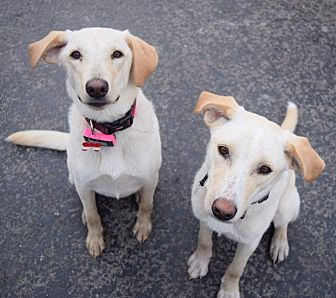 Labrador Retriever/Border Collie Mix Dog for adoption in St. Louis, Missouri - Bill and Ted