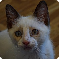 Siamese Kitten for adoption in Greeley, Colorado - Mantis