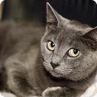 Domestic Shorthair Cat for adoption in New York, New York - Misty Blue