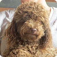 Poodle (Miniature) Dog for adoption in Salem, New Hampshire - Harry Potter