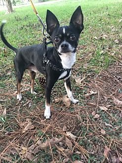 Chihuahua Dog for adoption in Tomball, Texas - Casey