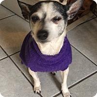 Chihuahua Dog for adoption in Crowley, Louisiana - Sweet Pea