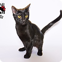 Domestic Shorthair Kitten for adoption in Tomball, Texas - Ellis