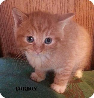 Domestic Mediumhair Kitten for adoption in Golsboro, North Carolina - GORDON