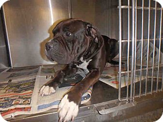 Mastiff Mix Dog for adoption in Beverly Hills, California - A1671372 is at East Valley