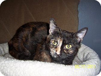 Domestic Shorthair Cat for adoption in Hamilton, New Jersey - Pixie