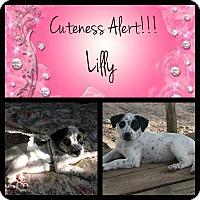 Adopt A Pet :: Lilly - El Campo, TX