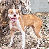 Adopt A Pet :: DARCY - Phoenix, AZ