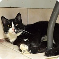 Domestic Mediumhair Cat for adoption in Queens, New York - Shirley