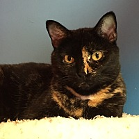 Domestic Shorthair Cat for adoption in Topeka, Kansas - Catalina