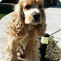 Adopt A Pet :: Boxcar - Santa Barbara, CA