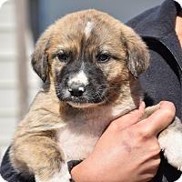 Adopt A Pet :: Henson - Groton, MA