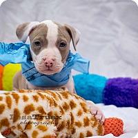 Adopt A Pet :: Thor - Frisco, TX