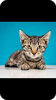 Domestic Shorthair Kitten for adoption in Chandler, Arizona - Finn