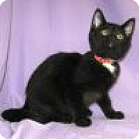 Domestic Shorthair Cat for adoption in Powell, Ohio - Renita