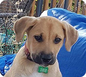 Labrador Retriever/German Shepherd Dog Mix Puppy for adoption in Surrey, British Columbia - Gus
